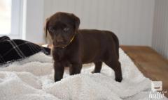 Chocholate Labrador Retriever.