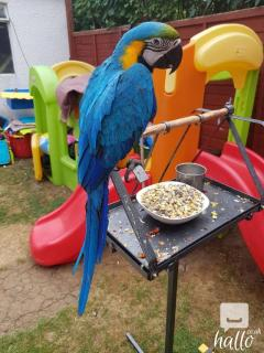 Blue & Gold Macaw.