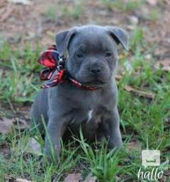Staffordshire Blue Terrier Puppies For Sale.