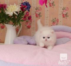 Beautiful Persian kittens Ready To Go Now