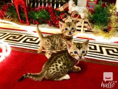 Beautiful bengals kittens for sale