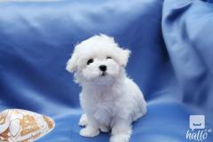 Beautiful Maltese Puppies up to date in all injections