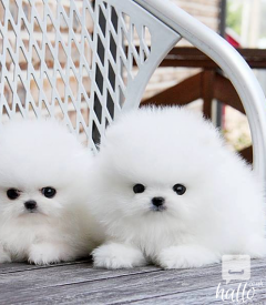 12 weeks old male and female pomeranian puppies