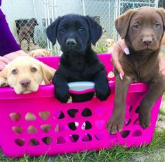 Male and Female Labrador Puppies Available