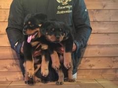 Gorgeous Chunky Rottweiler Puppies