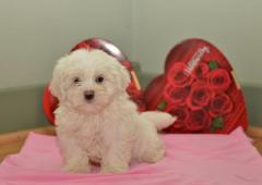 Amazing litter of Apricot Maltipoo puppies