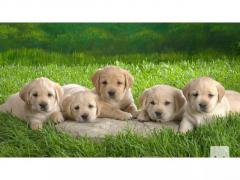 Well Trained Golden Retriever Puppies Available