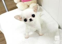 Apple Head Teacup Chihuahua Puppies available