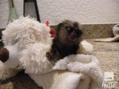 Amazing marmoset Monkeys Available for new homes