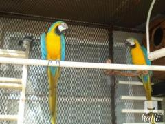 Re home a pair of BG Macaw parrots