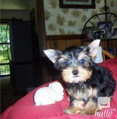 Pedigree Miniature Yorkshire Terrier Puppies