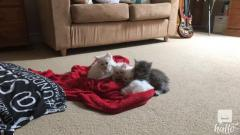 Beautiful Fluffy Maine Coon Cross Kittens For sale