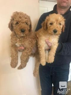 Pra Clear Kc Registered Miniature Poodle Puppies
