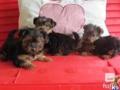Obedience Domestic Tea Cup Yorkshire Terrier Pups