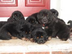 For Sale Tibetan Mastiff Puppies