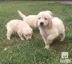 Delighted Golden Retriever Puppies With Great Fun For