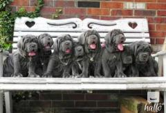 For Sale Neapolitan Mastiff Puppies****