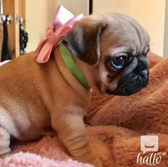 Stunning Litter Of Fawn Pugs Puppies.