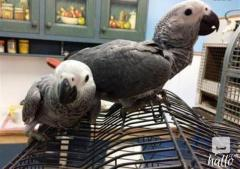 Hand-raised Baby CONGO AFRICAN GREY PARROTS READY
