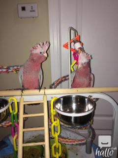 Hand Tame Trained Galah Rose Breasted Cockatoos