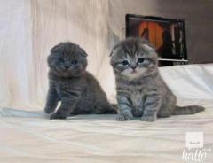 Very Unique And Lovely Little Scottish Fold Kitt
