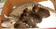 egyptian mau kittens beautifully spotted