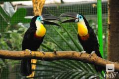 Beautiful Super Tame Channel-Billed Toucans With