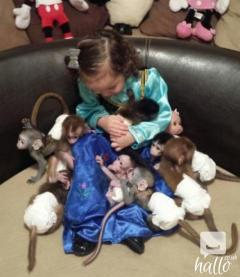 Friendly,Beautiful  Diaper Trained Baby Capuchin Monkey