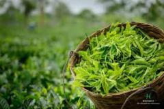 Organic Tea Leaves UK - Halmari Tea Store.