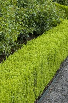 Hedge Planting Service