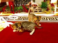 Extra Special Bengal Pedigree Kittens