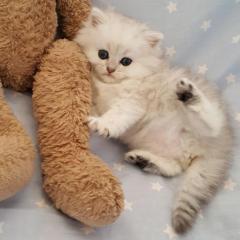 Pedigree Persian Kittens For Sale