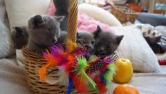Russian Blue Kittens  Ready To Go Now