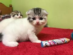 Tica Registered Scottish Fold Kittens