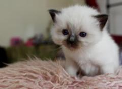 Ragdoll Kittens For Sale Now