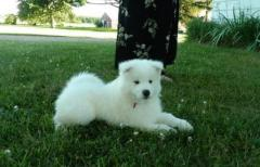Samoyed Puppies Available Now.