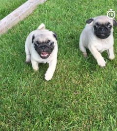 Ready Now Gorgeous Kc Reg Pug Puppies For Sale.