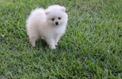 White Pomeranian For Sale