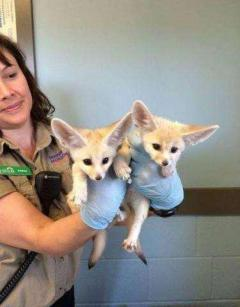 Home raised fennec fox babies available now