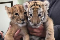 Tiger Cubs , Cheetah Cubs ,panther Babies , Lion Cubs