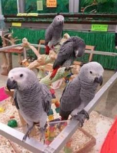 African grey Parrot Available Baby Male and female