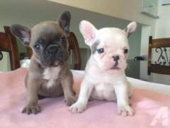 French bull puppies free adoption