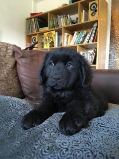 Newfoundland Female Puppies