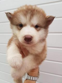 Pedigree Alaskan Malamute Puppies