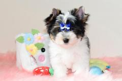 Stunning Yorkshire Terrier Puppies.
