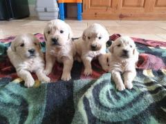 Stunning Kc Reg Golden Retriever Puppies