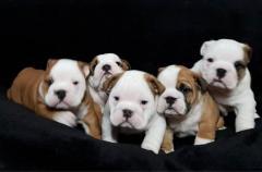 English Bulldog Dogs