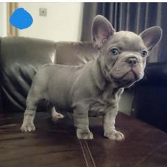 Beautiful Blue French Bulldog.
