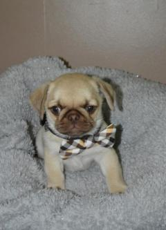 dtk Lovely Pug puppies available