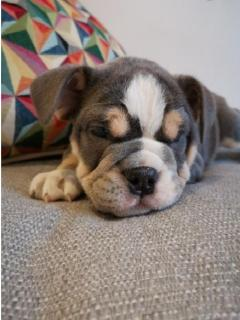 Stunning English Bulldog puppies available